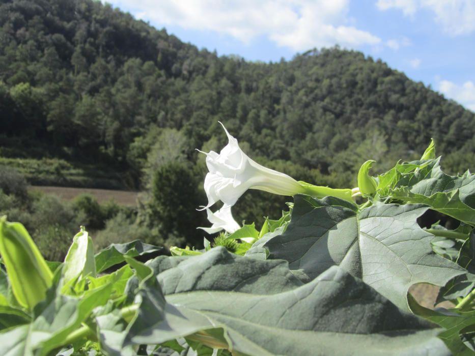 L'estramoni (Datura stramonium) és una planta amb flor de la família de les solanàcies originària d'Amèrica del Nord, però actualment es troba per tot Euràsia.