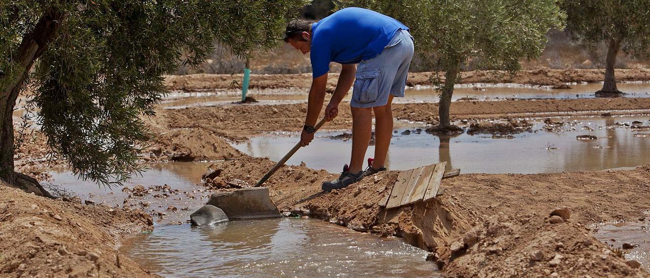 Un agricultor distribuye agua del trasvase del Tajo en una explotación del Campo de Elche, en el que los caudales del río son clave para los cultivos.
