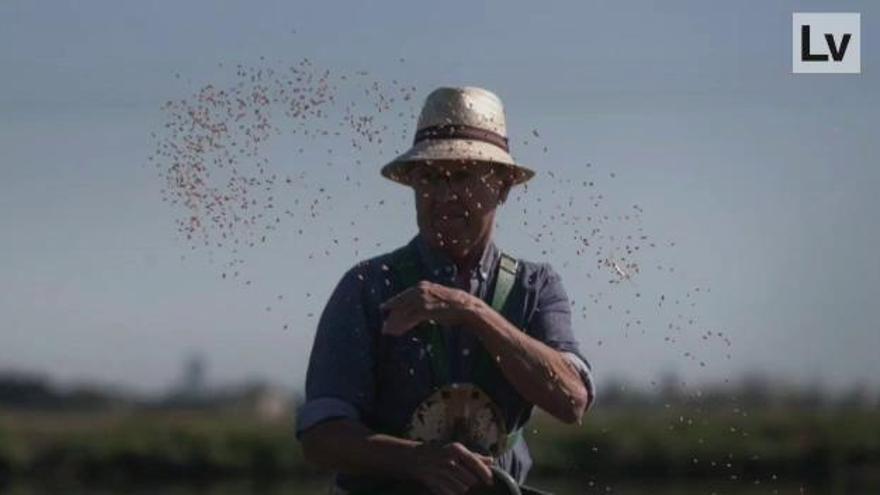 Superviviente  en el arte de la 'barrejà' del arroz