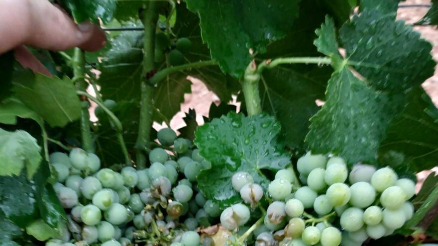 FOTOGALERÍA | Las tormentas causan daños en las viñas de Ibdes