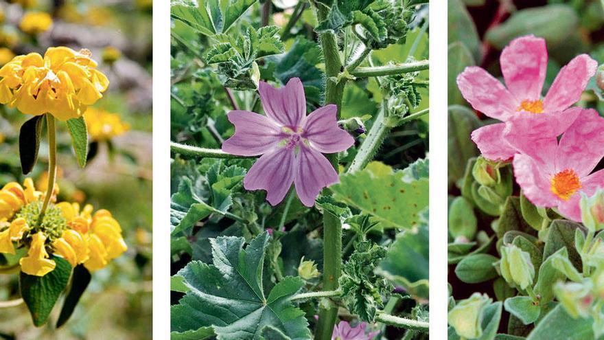 Diese Wildpflanzen verwandeln jetzt Mallorca in ein Blütenmeer