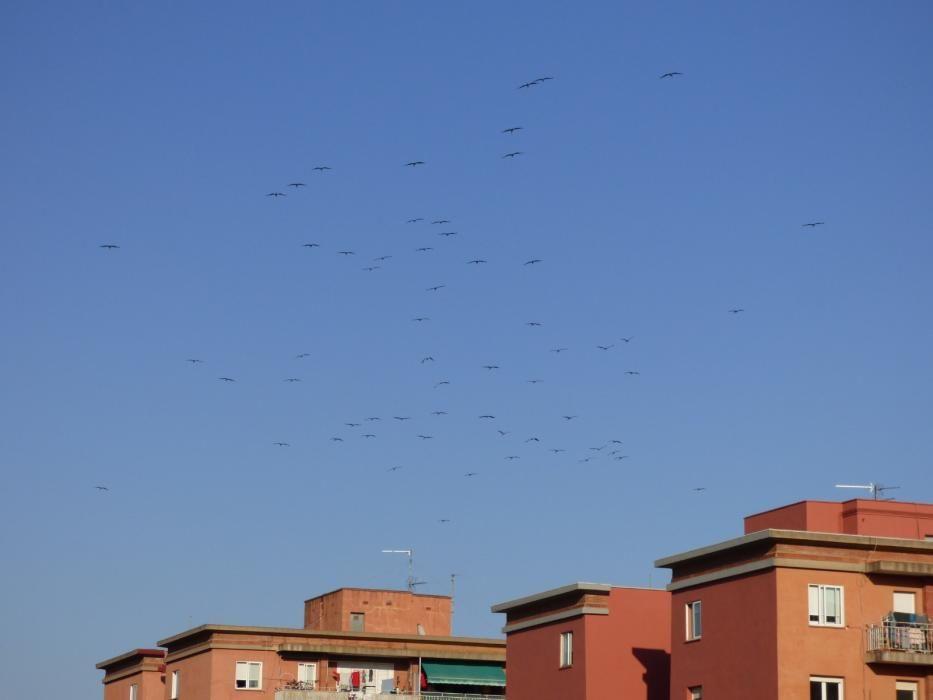Una seixantena de cigonyes sobrevolen Figueres