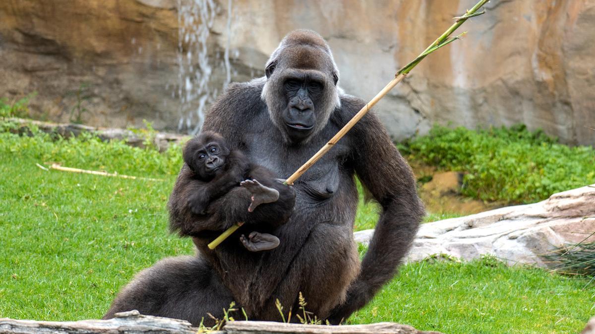 Gorila hembra con su cría.