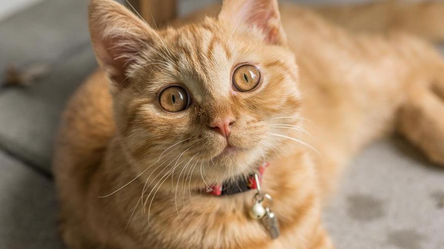 Ten a tu gato localizado en todo momento con un collar con GPS