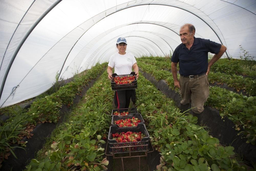 La explotación de fresas de Manuel Touceda // Bernabé / Cris M. V.