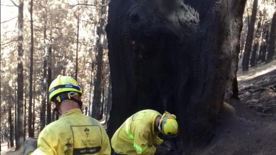 Rebrotan llamas del incendio de Gran Canaria en un árbol centenario de Pinos de Gáldar