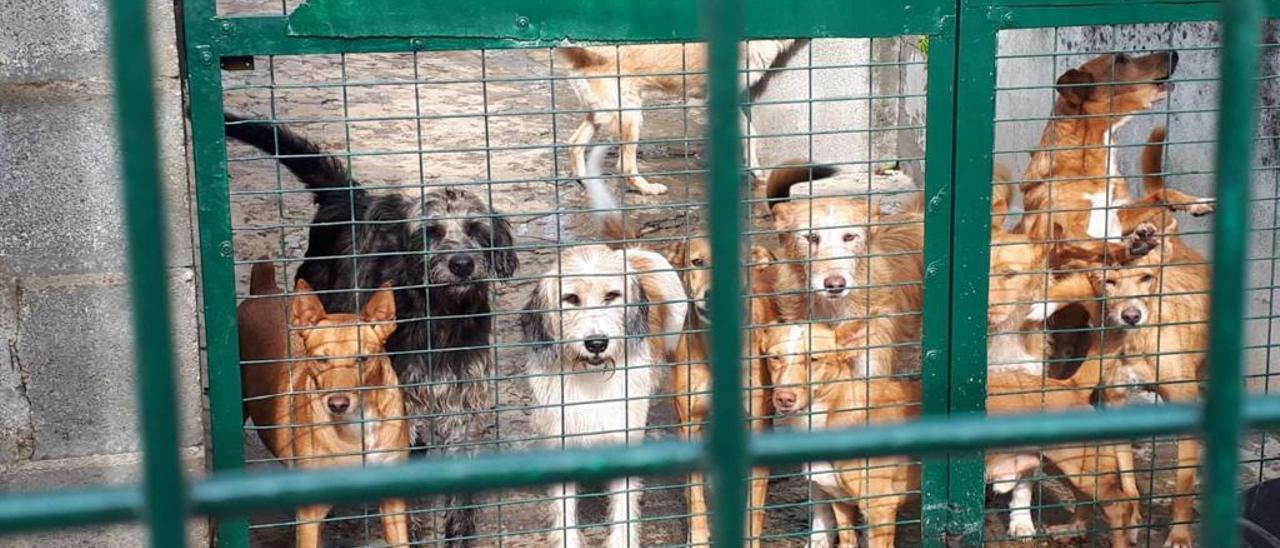 Varios perros, en la protectora de Tui.