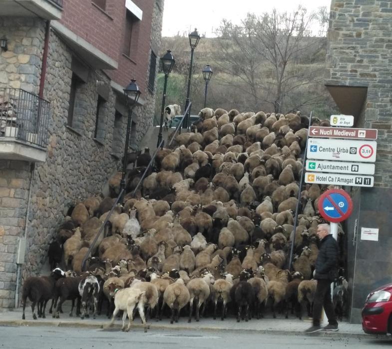 Ramat. Curiosa imatge d'un ramat d'ovelles que puja les escales d'un carrer de Bagà. Els caps de bestiar més impacients no podien esperar el seu torn i feien drecera pel costat de l'escala.