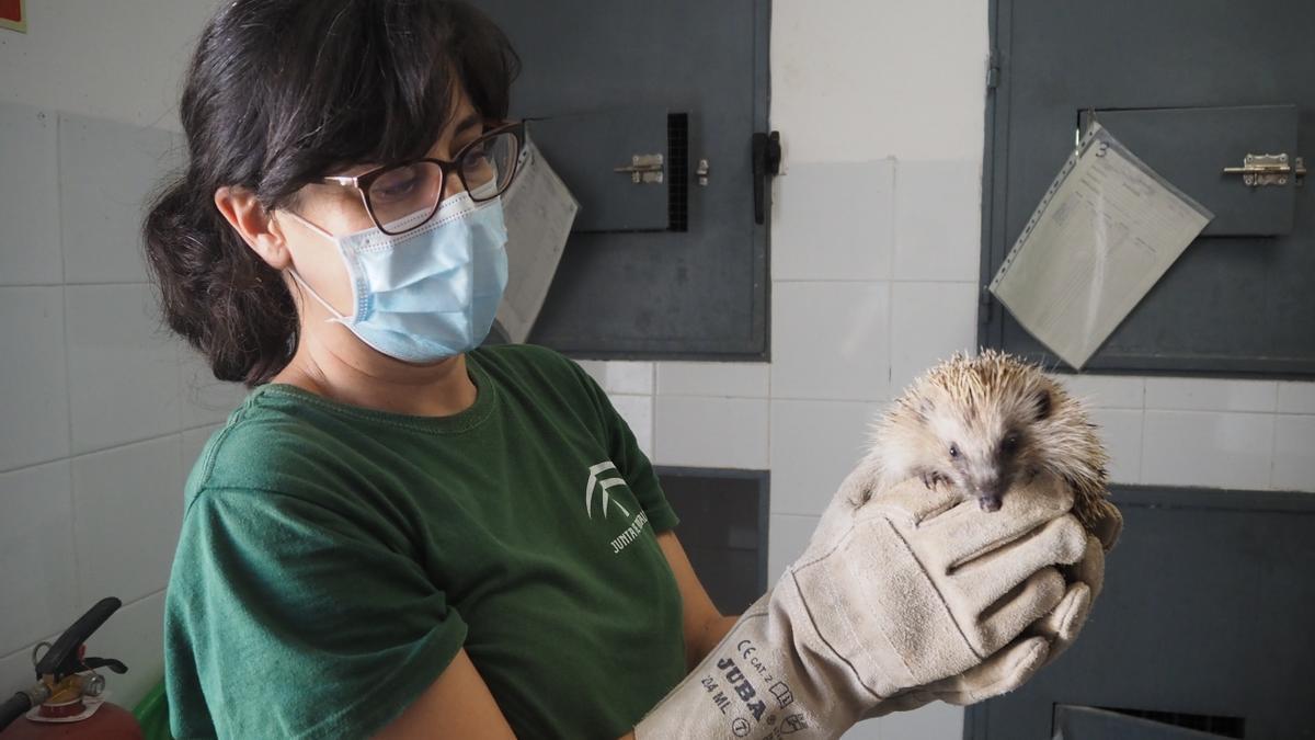 Una veterinaria trata a un erizo en el CREA Los Villares.