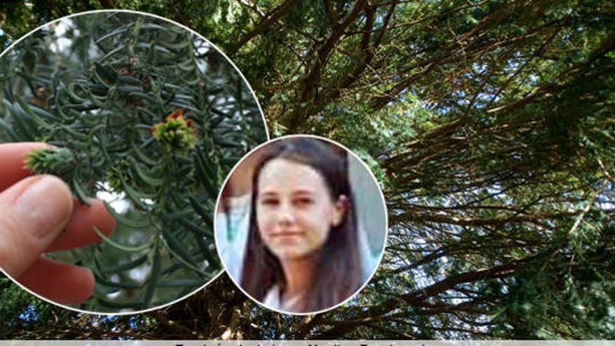 Mor una jove a Astúries per ingerir fulles de teix
