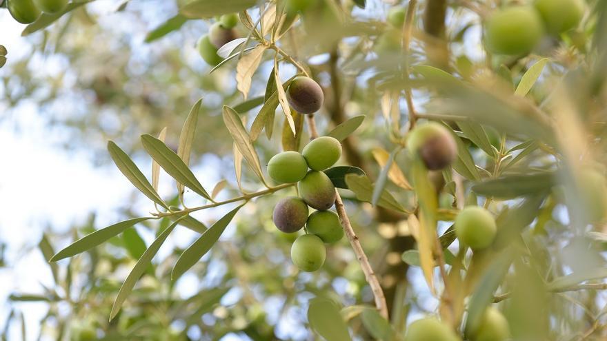 El Ainia investiga el uso de virus bacterianos para combatir 'Xylella' del olivar
