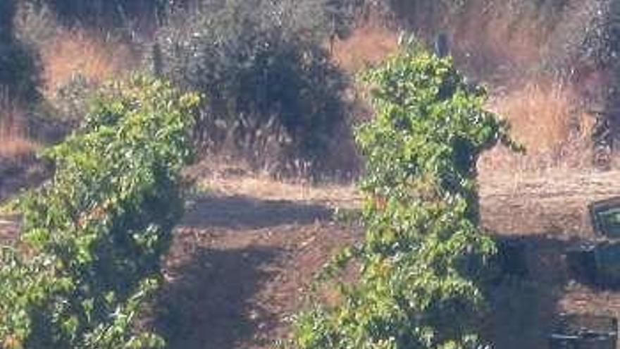Viticultores temen que la mayor producción de uva en la DO genere una caída del precio