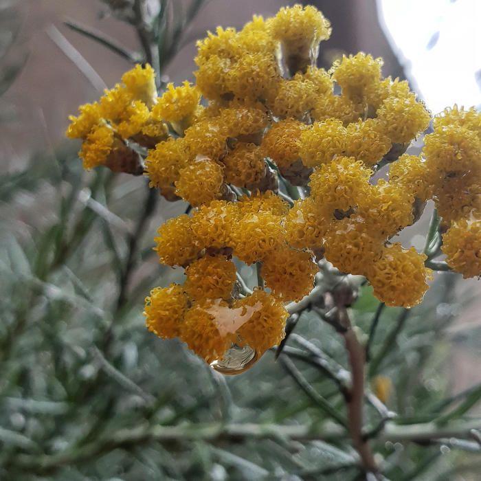 Comí. És una planta de la família de les apiàcies que es fa servir de condiment. És originària de la zona que va de l'est de la regió mediterrània fins a l'Índia. Aquest exemplar ben moll el van trobar a Manresa la setmana passada.