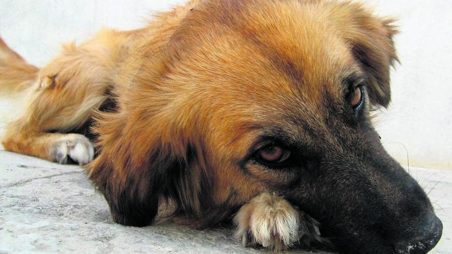 Una jueza deniega la custodia compartida de un perro por unos divorciados
