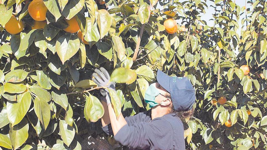 La DO Kaki Ribera reúne el 90 % de la producción nacional