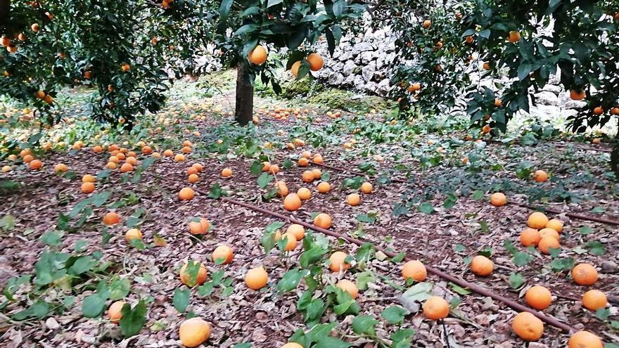 La falta de actividad turística deja las naranjas de Sóller en los huertos