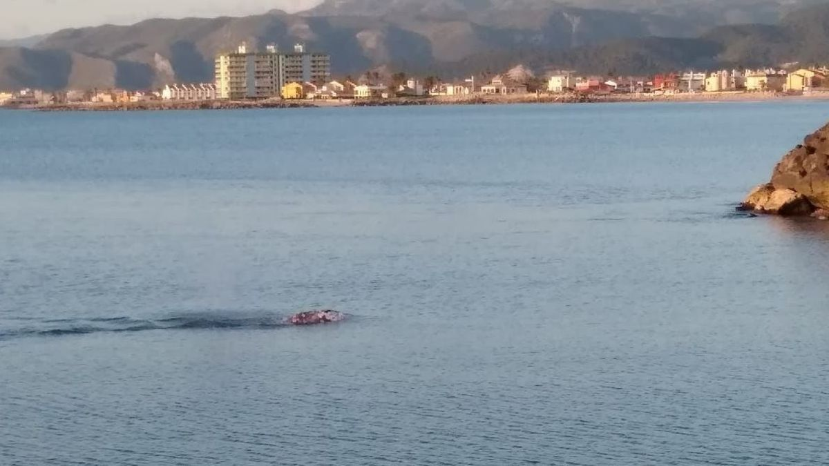 Una cria de balena grisa s'endinsa en el Xúquer.