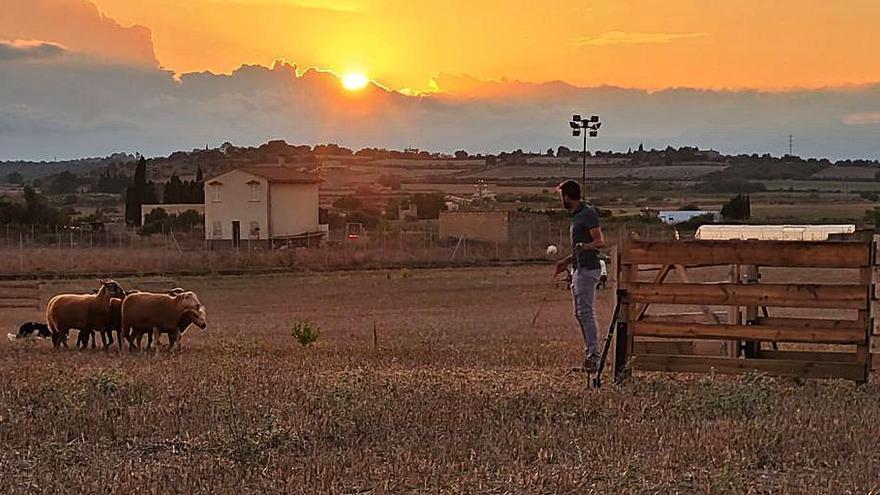 El perro 'Pat' de Jaume Coll gana el concurso de pastoreo nocturno de Santa Margalida
