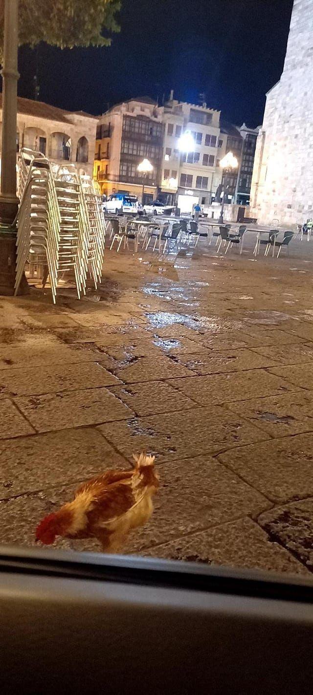 La gallina más famosa de Zamora, de paseo por la plaza Mayor.
