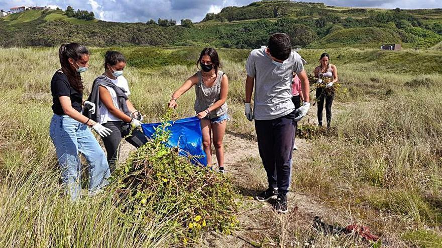 Scouts de Valladolid retiran plantas invasoras de las dunas de Xagó