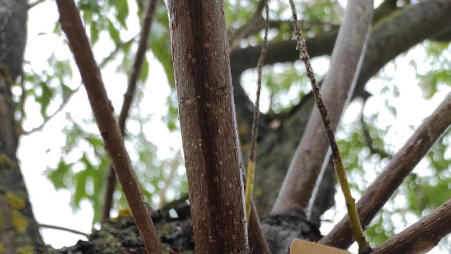 Barbastro continúa con los tratamientos de protección del arbolado urbano