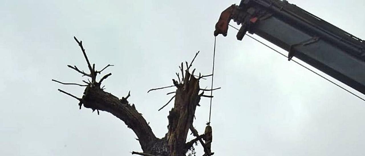 La grúa retira el centenario árbol de su lugar. | | LP/DLP