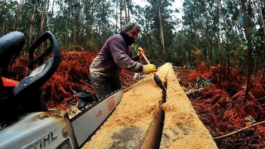 Galicia jubila el eucalipto