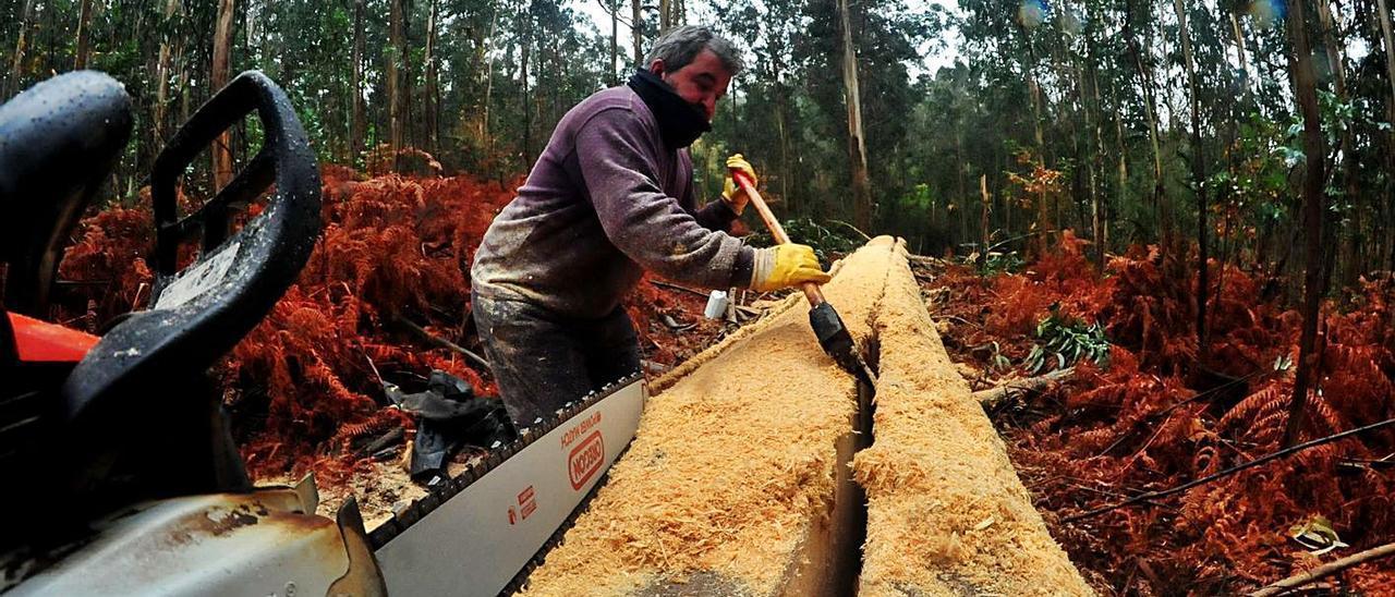 Tala de madera de eucalipto para construir bateas en Vilagarcía