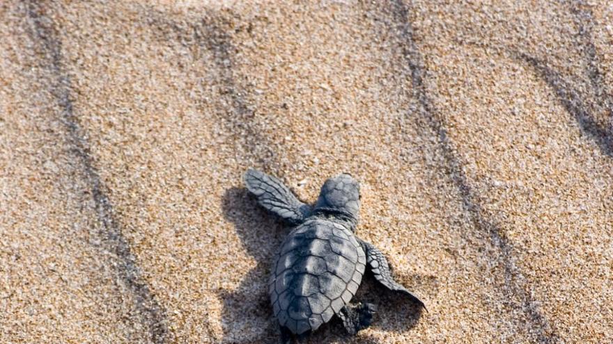 Campaña para proteger las tortugas marinas cuando se localicen nidos en la costa