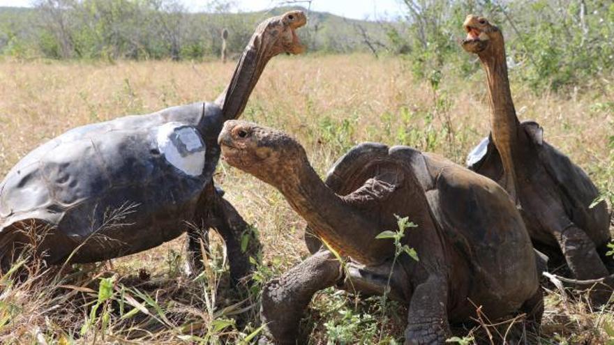 Diego, la tortuga inseminadora que ha salvado su especie
