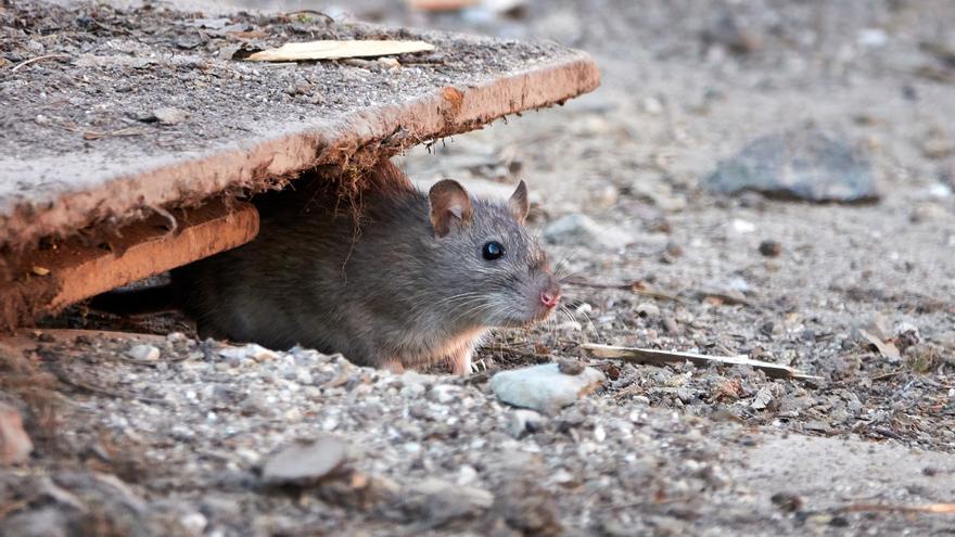 Denuncian que las ratas roen la fibra óptica en Porriño