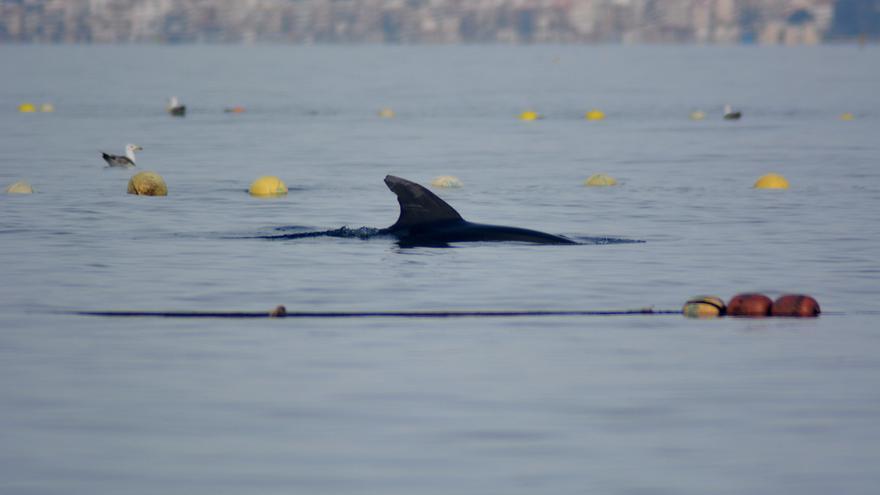 Liberan dos delfines mulares atrapados en una almadraba en La Azohía