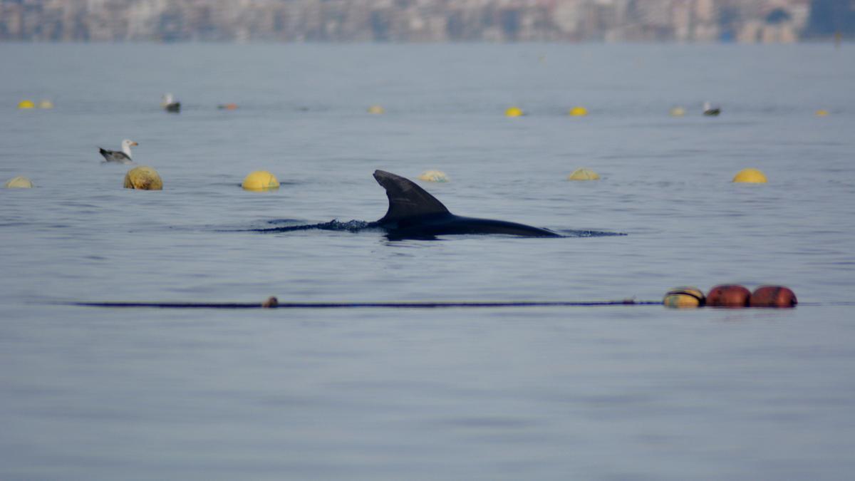 Liberan dos delfines mulares atrapados en La Azohía