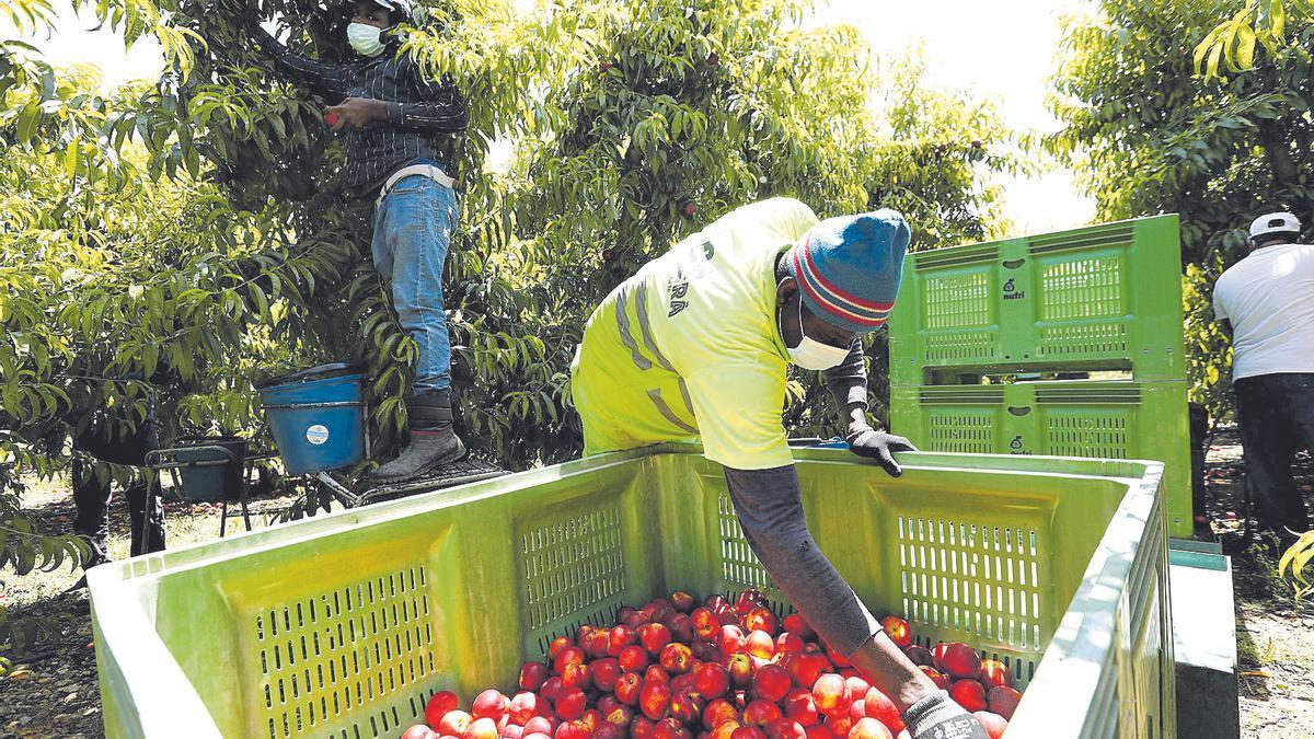 Varios temporeros recogen fruta en un campo de Aragón.