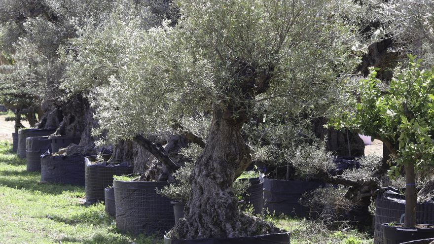 Siguen sin hallar la forma legal de parar la llegada de olivos a Ibiza