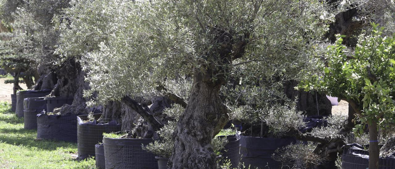 Olivos de tipo ornamental almacenados en un vivero de Ibiza