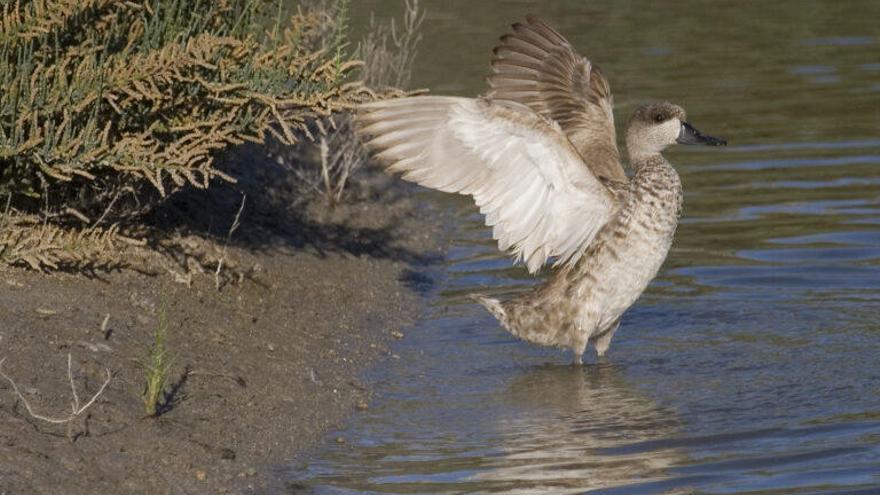 La cerceta pardilla: De la cautividad a los 75 km/h en su viaje a Marruecos