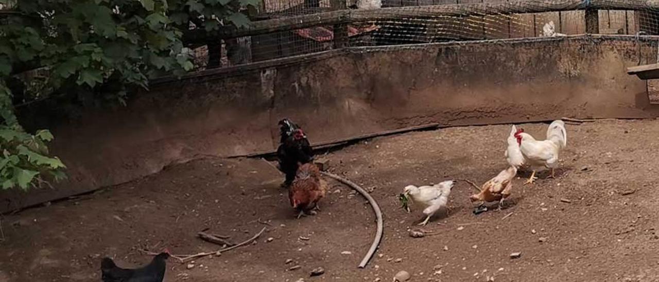 Los gallos y las gallinas que se pasan de decibelios.