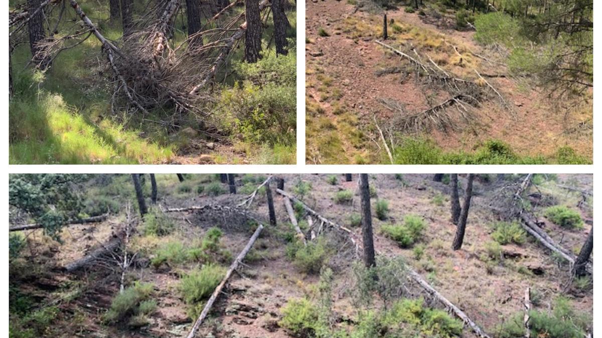 Los miles de pinos que abatió la fuerte nevada de enero del 2017 continúan derribados en el bosque del Agua Mala de Torás, con el riesgo que supone la acumulación de troncos ante posibles incendios.