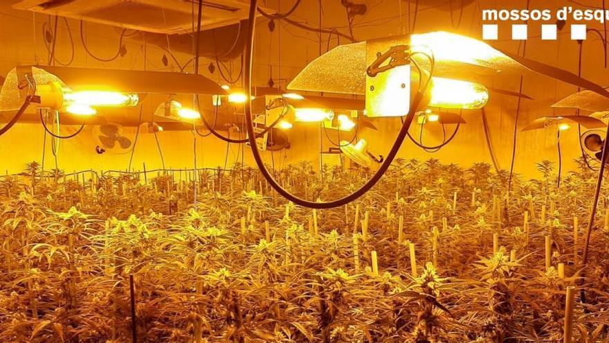 Sis detinguts per cultivar 1.752 plantes de marihuana a Òdena