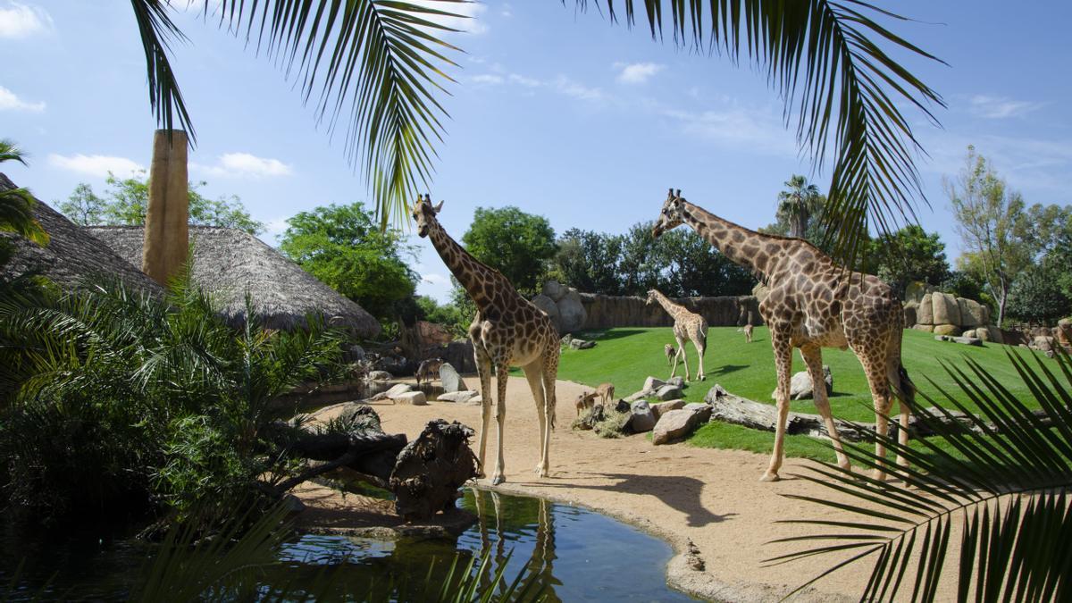 BIOPARC permite 'viajar a África' sin salir de casa.