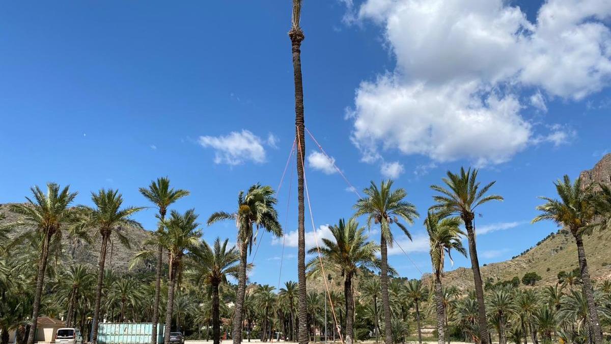 Imagen del ejemplar monumental de palmera datilera trasplantado por el Ayuntamiento de Orihuela.