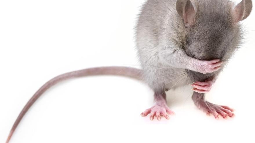 Les rates, les veïnes de la clavaguera