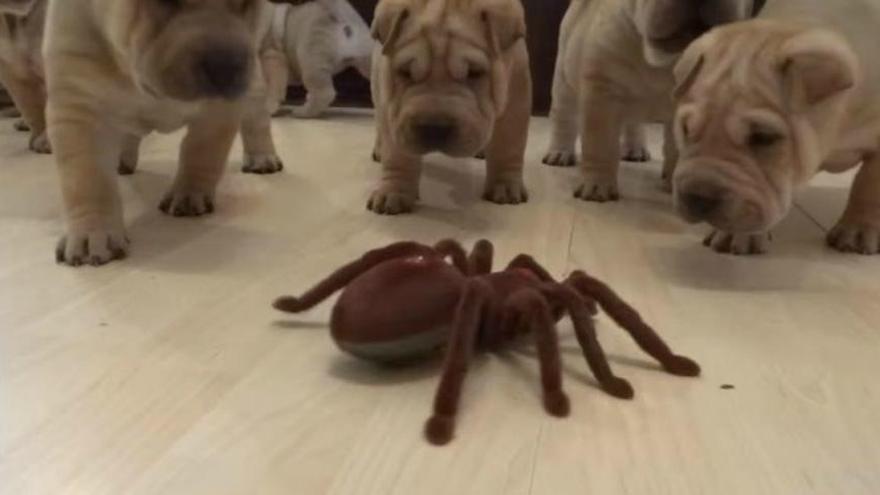 La reacción de unos cachorros ante una tarántula de juguete