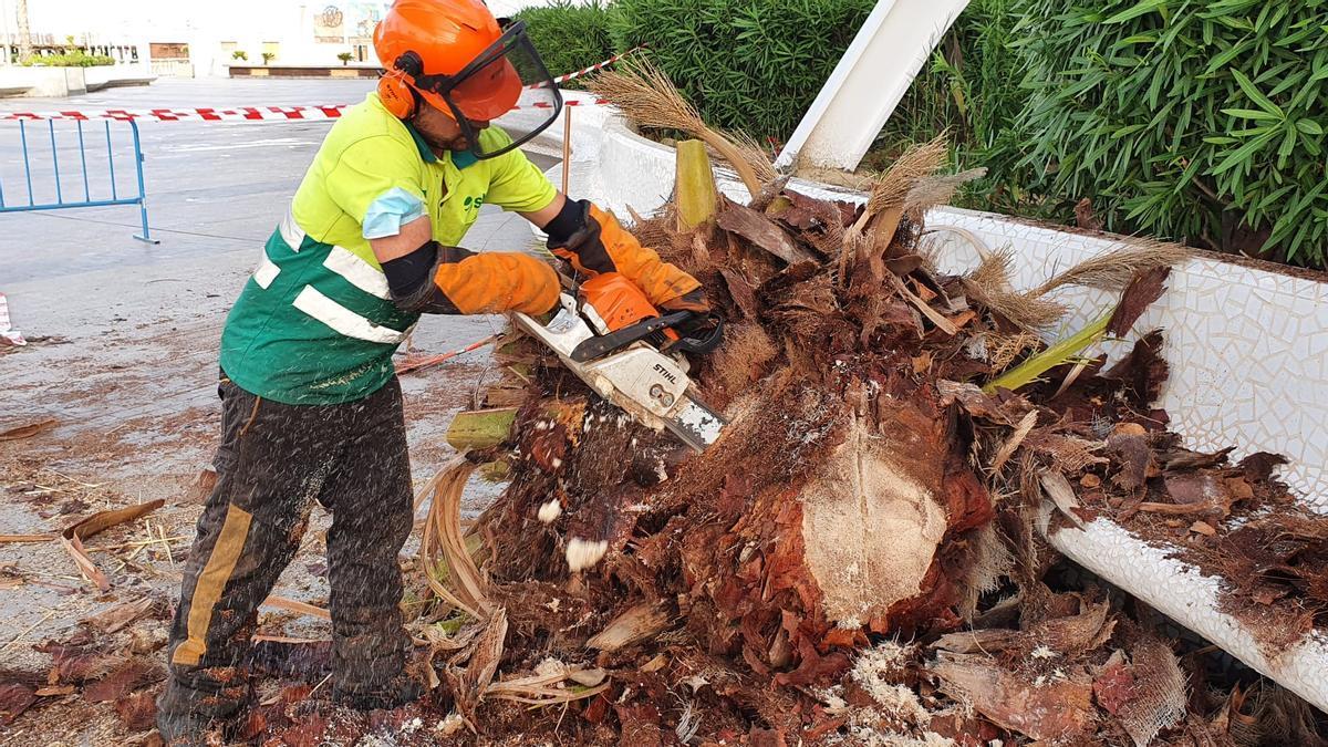 Trabajos de desbroce de la corona de la palmera en el paseo de Vista Alegre