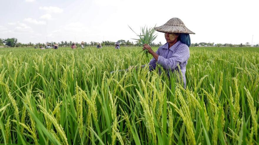 Myanmar burla a la UE y dispara sus envíos de arroz