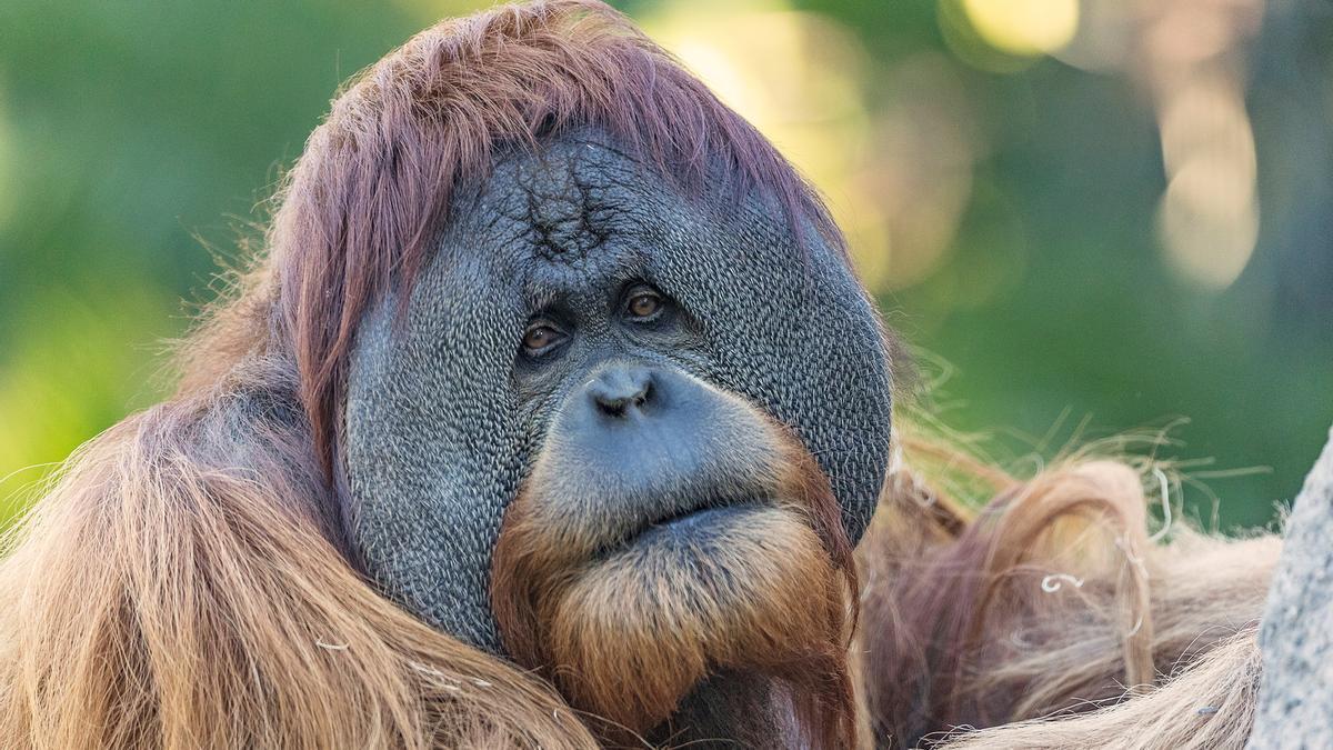 Imagen de archivo de un orangután