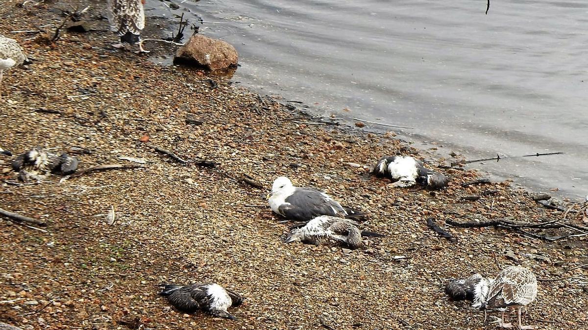 Aves muertas y enfermas en el embalse de Vilagudín, a principios de esta semana