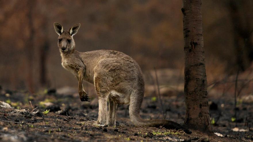Los incendios en Australia acabaron con la vida de 3.000 millones de animales