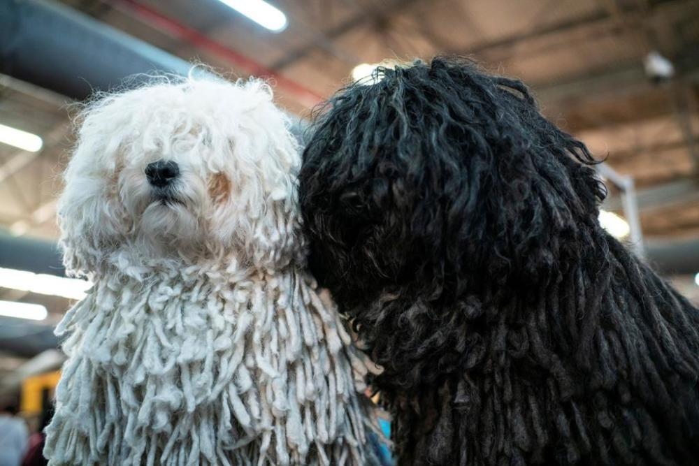 El Westminster Kennel Club, un dels shows de gossos de raça més importants del món